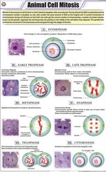 Animal Cell Mitosis For Zoology Chart