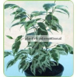 Ficus Starlite