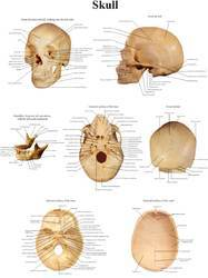 Anatomical Wall Charts