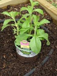 Stevia Rebaudiana Plants for Plantation