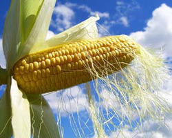 Corn Starch & Cornflour