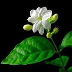 jasmine sambac absolute oil