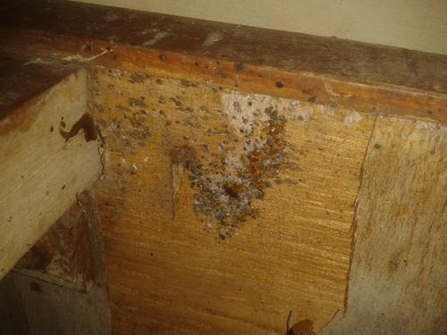 Bed Bugs Infestation Of Bed Bugs Eggs In Wooden