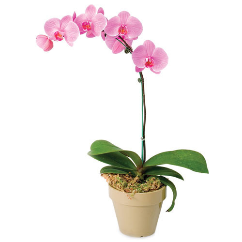 Orchids in Thrissur - Latest Price & Mandi Rates from Dealers in