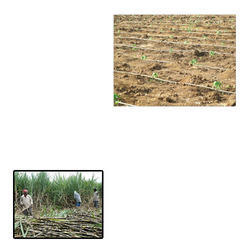 Drip Irrigation System for Sugarcane