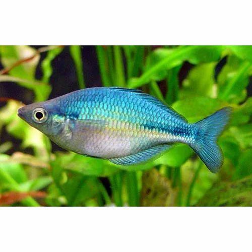 Rainbow Fish Blue Fish Blue Freshwater Rainbow Fish