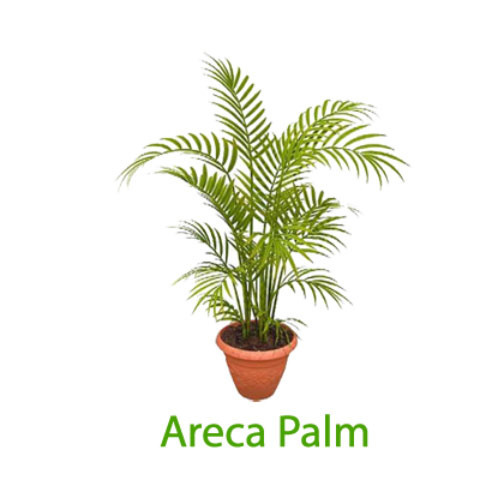 Indoor Plant Areca Palm Plant Manufacturer From New Delhi