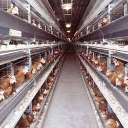 Battery Cages Of Broiler Breeders Parents