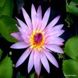 Violet Water Lily Pool Plants