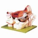 Muscular Eye Model