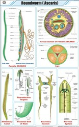 Roundworm (Ascaris) For Zoology Chart