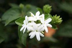 Juhi Plants