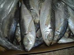IQF Horse Mackerel Frozen Fish