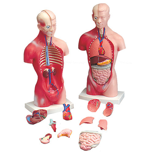 Anatomical Models Anatomy Models Latest Price Manufacturers