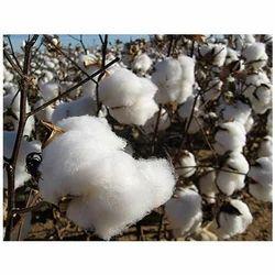 agriculture cotton
