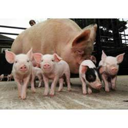 Piglet Grower Feed
