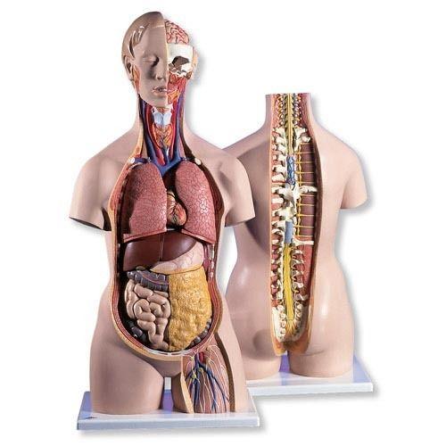 Human Anatomical Models in Delhi, मानव शारीरिक मॉडल ...