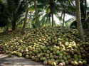 Coconut Plantation Solution