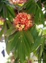 Saraca Asoca
