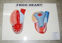 Frog Heart Model