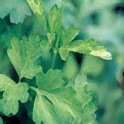 guggul commiphora mukul