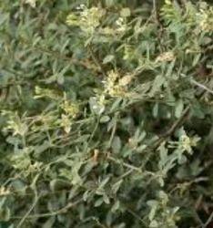 Cadaba Fruticosa   Family:capparaceae