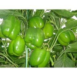 Green Capsicum Seeds - Pasarella