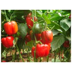 Capsicum Seeds (Sweet Pepper) Inspiration