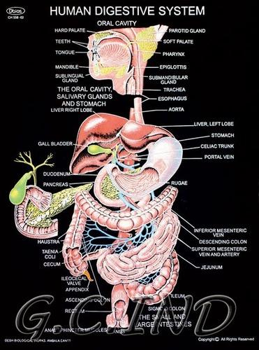 Educational Charts Human Digestive System Exporter From Ambala