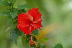 Gudhal Plants