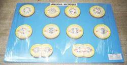 Animal Mitosis Model On Board
