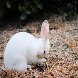 original breed rabbit farming
