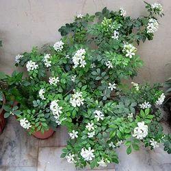 Madhu Kamini Plants