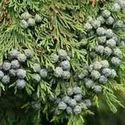 Conifer Seeds