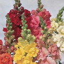 Antirrhinum Nanus-Semi Tall