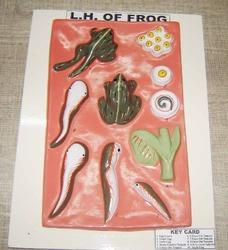 L.h Of Frog