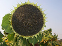 Agronomic/field Crops - Sunflower - Aditya
