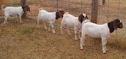 Boer+Goat