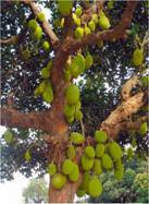 Jack Fruit Trees
