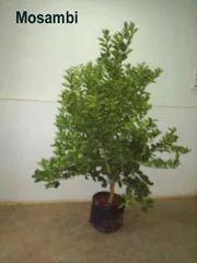 Sweet Orange Plant