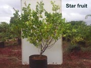 Star Fruit Plant