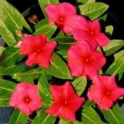 Caranthus Rosea
