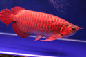 Magnificent Healthy Arowana Fishes