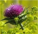 Milk Thistle Extract ZS-17