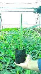 Subsidy Consultation Service for Banana Plantation