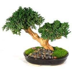 decorative bonsai plants