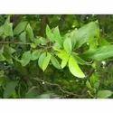 Natural Jamun Extract