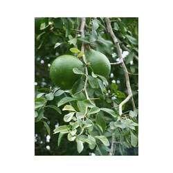 Bael Fruit/Wood Apple/Aegle-Marmelos