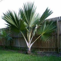 Latania Palms