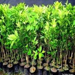 Fruit Tree Wholesale Price For Fruit Tree In India